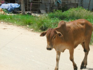 cows1b